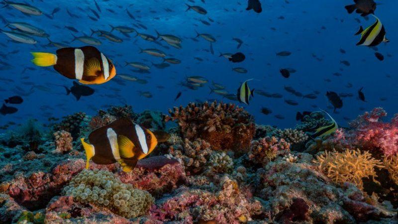 Si las temperaturas continúan aumentando, casi todos los corales de aguas cálidas podrían desaparecer.